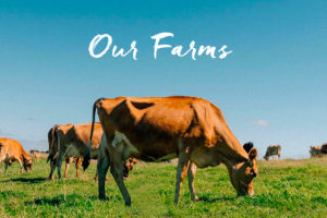 Bellamy's Organic website with pictures of cows grazing